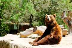 Brown bear in zoo. Portrait of funny brown bear in sitting position in zoo Royalty Free Stock Photo