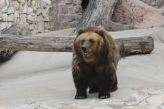 Brown bear in a zoo Royalty Free Stock Photo