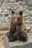 Brown bear in zoo Stock Image