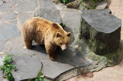 Brown bear in a zoo Stock Image