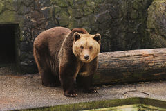 Brown bear in zoo Royalty Free Stock Images