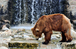 Brown Bear in a Zoo. Brown bear (Ursus arctos) is a large bear distributed across much of northern Eurasia and North America. Adult bears generally weigh between Royalty Free Stock Image