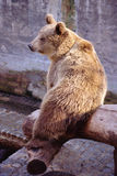 Brown bear in a zoo Stock Photos