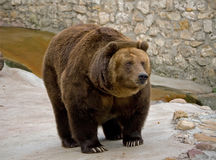Brown bear in a zoo. In a standing position on four paws Royalty Free Stock Photo
