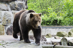 Brown bear. In the zoo Stock Photography