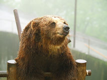 Brown bear in zoo Royalty Free Stock Image