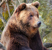 Brown bear in a zoo. stock photography