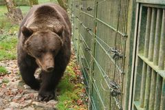 Brown bear in the zoo behind the fence, close-up stock photography