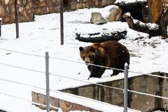 Brown bear at the zoo stock images