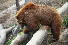 Brown bear at the zoo Stock Image