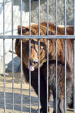 Brown bear in a zoo close-up. Stock Photos