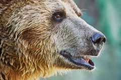 Brown bear in a zoo Royalty Free Stock Photography