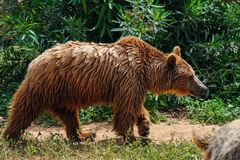 Brown bear in zoo Stock Images