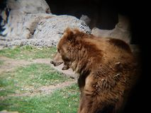 Brown bear in a zoo. Family ursidae, carnivore and mammal animal, inhabits forests and his favorite food is honey Royalty Free Stock Image