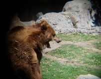 Brown bear in a zoo. Family ursidae, carnivore and mammal animal, inhabits forests and his favorite food is honey Stock Photo