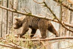 Brown bear at the zoo at Goldau Stock Images
