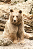 Brown bear at the zoo at Goldau Stock Image