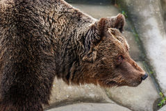 Brown bear in a zoo Royalty Free Stock Photos