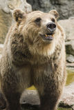 Brown bear in zoo II Stock Photos