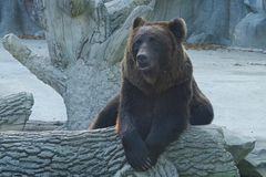 Brown bear. stock images