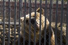 Brown bear in the zoo lizhit metal bars fence Royalty Free Stock Image