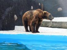 Brown bear in the zoo pool. Brown bear walking on the edge of the zoo pool stock photos