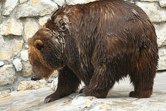 Brown bear in a zoo Stock Photo