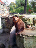 Brown bear in zoo Stock Photos