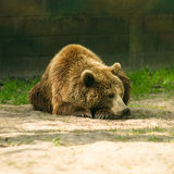 Brown bear, zoo Royalty Free Stock Photography