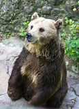 Brown Bear  in the zoo. Stock Photos