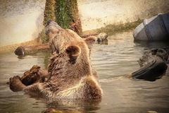 Brown bear in zoo. Brown bear in standing in water at the zoo Royalty Free Stock Photos