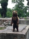 Brown bear in the zoo royalty free stock photos