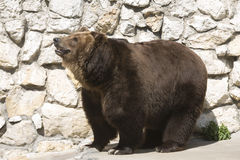 Brown bear in zoo sunny day Royalty Free Stock Photo