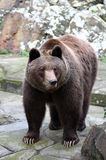 Brown bear Royalty Free Stock Photos