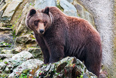 Brown bear in a zoo Royalty Free Stock Images