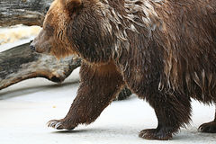 Brown bear in a zoo Stock Photography