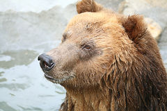 Brown bear in a zoo Stock Images