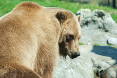 Brown Bearin the wild Royalty Free Stock Images