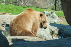 Brown Bearin the wild Stock Photography