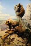 Brown Bears. At the American Museum of Natural History in New York City Royalty Free Stock Photography