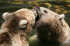 Brown bears Stock Image