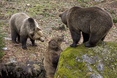 Brown bears Stock Photography