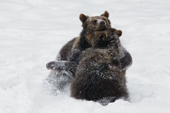Brown bears. Two brown bears playing in the snow Royalty Free Stock Image