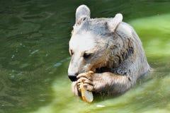 Brown Bears Stock Image
