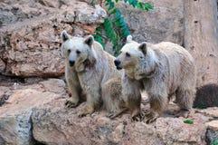 Brown bears. Stock Photos