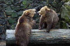 Brown bears. Stock Images