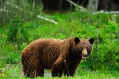 Brown Bears Royalty Free Stock Photos
