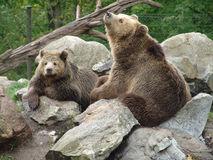 Brown bears Royalty Free Stock Photography