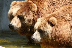 Brown Bears. Drinking brown bears Stock Photo