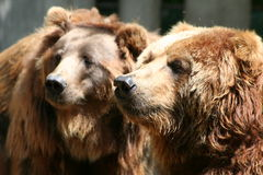 Brown Bears. Two hairy friends Stock Photography
